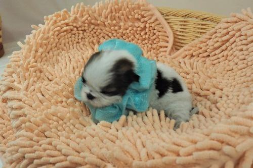 シーズーの子犬(ID:1255511433)の4枚目の写真/更新日:2020-07-31