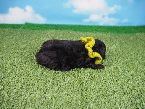 トイプードルの子犬(ID:1255511437)の2枚目の写真/更新日:2020-07-31