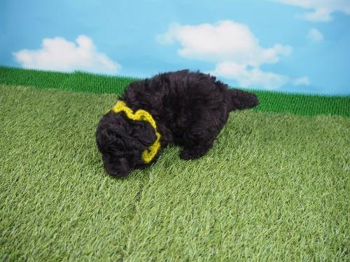 トイプードルの子犬(ID:1255511437)の3枚目の写真/更新日:2020-07-31
