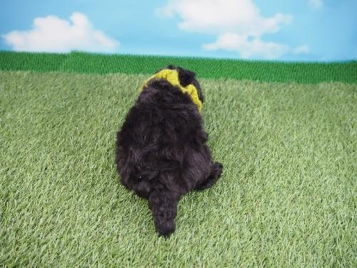 トイプードルの子犬(ID:1255511437)の4枚目の写真/更新日:2020-07-31