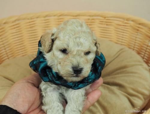 トイプードルの子犬(ID:1255511438)の1枚目の写真/更新日:2020-07-31