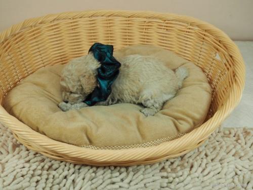 トイプードルの子犬(ID:1255511438)の3枚目の写真/更新日:2020-07-31