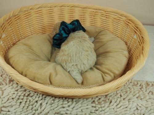 トイプードルの子犬(ID:1255511438)の4枚目の写真/更新日:2020-07-31