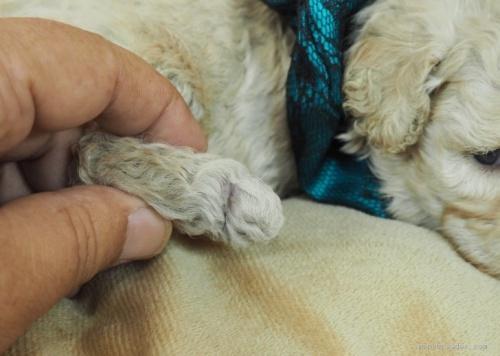 トイプードルの子犬(ID:1255511438)の5枚目の写真/更新日:2020-07-31
