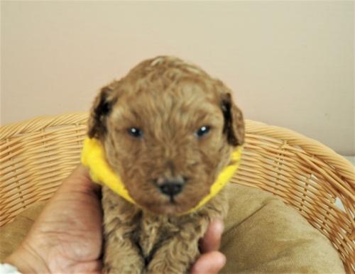 トイプードルの子犬(ID:1255511439)の1枚目の写真/更新日:2020-10-17