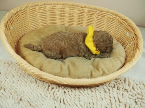 トイプードルの子犬(ID:1255511439)の2枚目の写真/更新日:2020-10-17