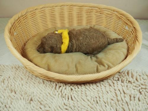 トイプードルの子犬(ID:1255511439)の3枚目の写真/更新日:2020-10-17