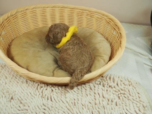 トイプードルの子犬(ID:1255511439)の4枚目の写真/更新日:2020-10-17
