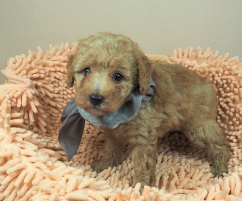 トイプードルの子犬(ID:1255511440)の1枚目の写真/更新日:2021-09-09