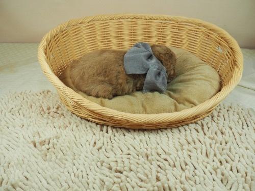 トイプードルの子犬(ID:1255511440)の2枚目の写真/更新日:2021-09-02