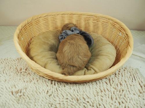 トイプードルの子犬(ID:1255511440)の4枚目の写真/更新日:2021-09-02