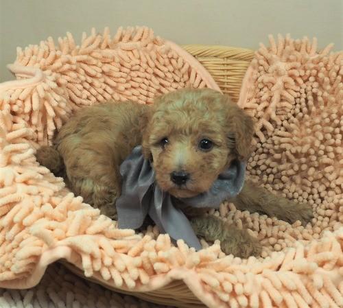 トイプードルの子犬(ID:1255511440)の5枚目の写真/更新日:2021-09-09