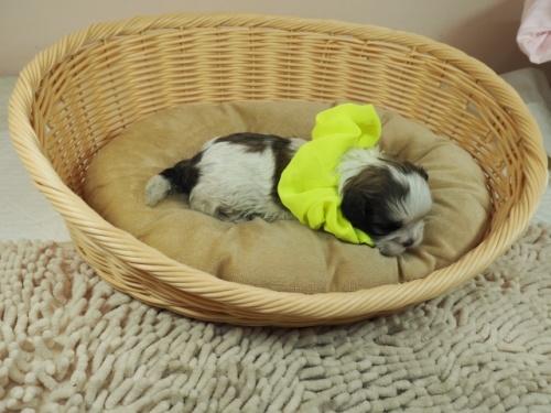 ミックスの子犬(ID:1255511441)の2枚目の写真/更新日:2021-03-18