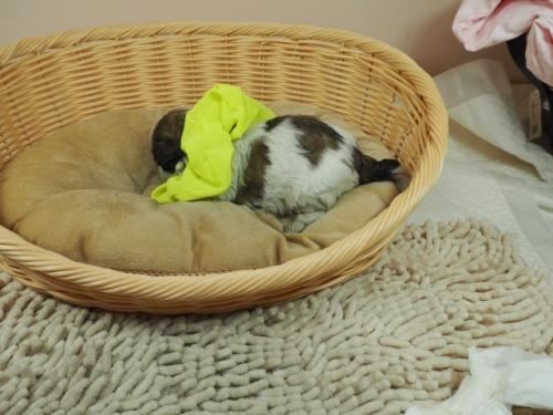 ミックスの子犬(ID:1255511441)の3枚目の写真/更新日:2021-03-18