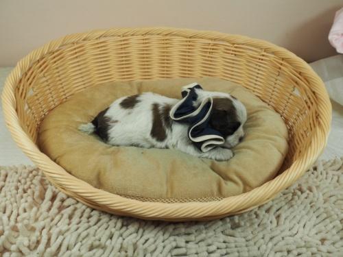 ミックスの子犬(ID:1255511443)の2枚目の写真/更新日:2021-03-18