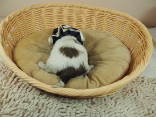 ミックスの子犬(ID:1255511443)の4枚目の写真/更新日:2021-03-18