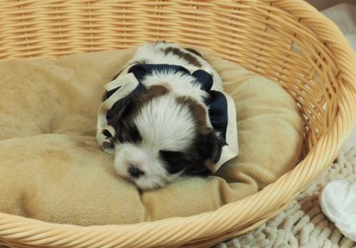 ミックスの子犬(ID:1255511443)の5枚目の写真/更新日:2021-03-18