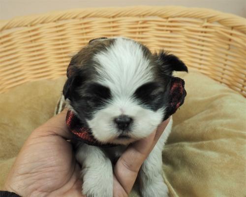 ミックスの子犬(ID:1255511444)の1枚目の写真/更新日:2021-03-18