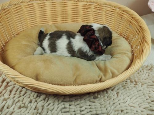 ミックスの子犬(ID:1255511444)の2枚目の写真/更新日:2021-03-18