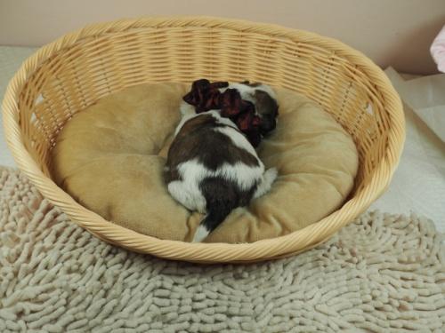 ミックスの子犬(ID:1255511444)の4枚目の写真/更新日:2021-03-18