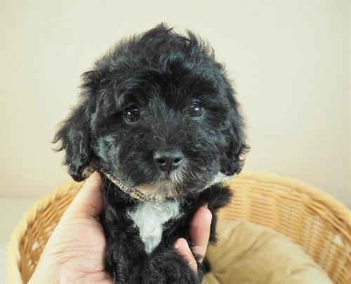 トイプードルの子犬(ID:1255511446)の1枚目の写真/更新日:2020-08-21