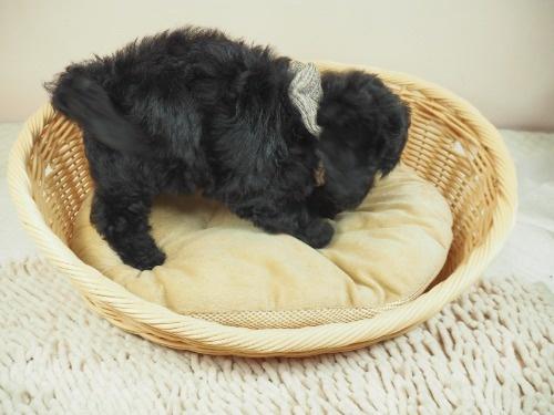 トイプードルの子犬(ID:1255511446)の2枚目の写真/更新日:2020-08-21