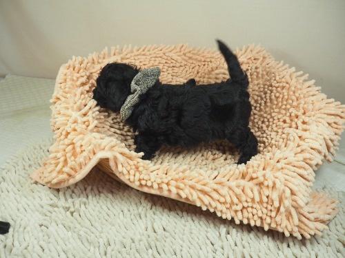 トイプードルの子犬(ID:1255511446)の3枚目の写真/更新日:2020-08-21