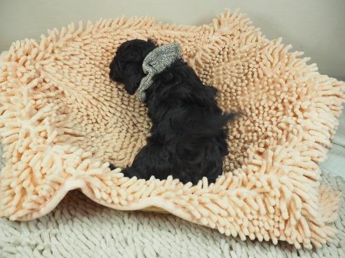 トイプードルの子犬(ID:1255511446)の4枚目の写真/更新日:2020-08-21