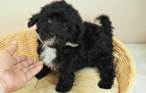 トイプードルの子犬(ID:1255511446)の5枚目の写真/更新日:2020-08-21