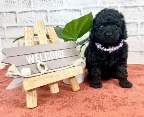 トイプードルの子犬(ID:1255511447)の1枚目の写真/更新日:2020-08-21