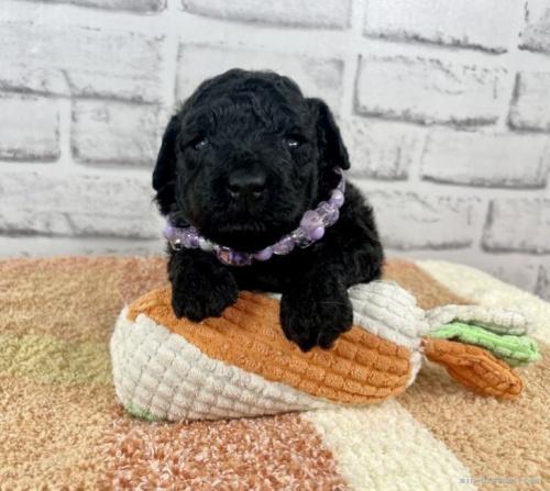 トイプードルの子犬(ID:1255511447)の5枚目の写真/更新日:2020-08-21