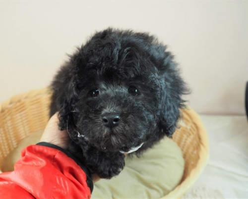 トイプードルの子犬(ID:1255511448)の1枚目の写真/更新日:2020-08-21