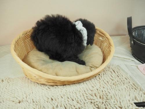 トイプードルの子犬(ID:1255511448)の2枚目の写真/更新日:2020-08-21