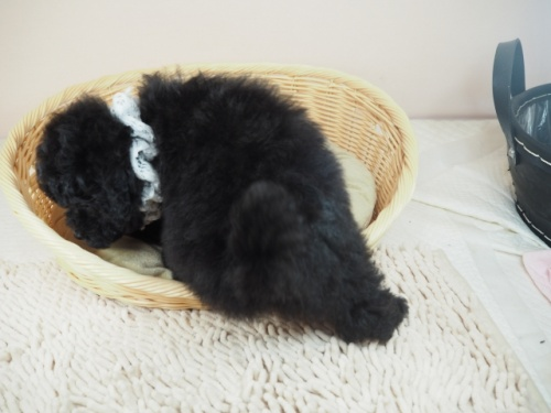 トイプードルの子犬(ID:1255511448)の3枚目の写真/更新日:2020-08-21
