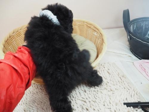トイプードルの子犬(ID:1255511448)の4枚目の写真/更新日:2020-08-21