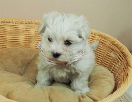 マルチーズの子犬(ID:1255511449)の1枚目の写真/更新日:2020-08-26