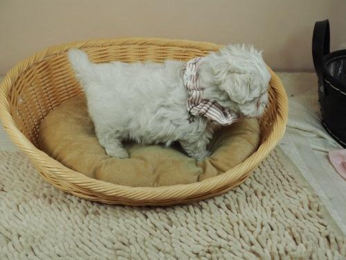 マルチーズの子犬(ID:1255511449)の2枚目の写真/更新日:2020-08-26