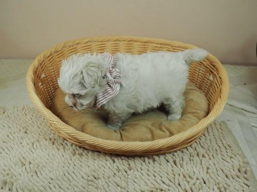マルチーズの子犬(ID:1255511449)の3枚目の写真/更新日:2020-08-26