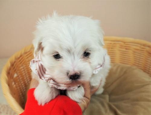 マルチーズの子犬(ID:1255511449)の5枚目の写真/更新日:2020-08-26