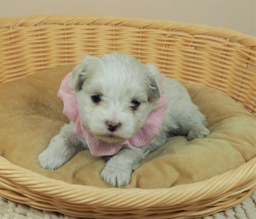 マルチーズの子犬(ID:1255511450)の1枚目の写真/更新日:2020-08-26