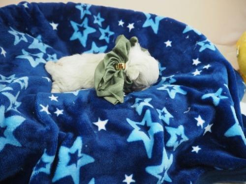 マルチーズの子犬(ID:1255511450)の2枚目の写真/更新日:2020-08-26