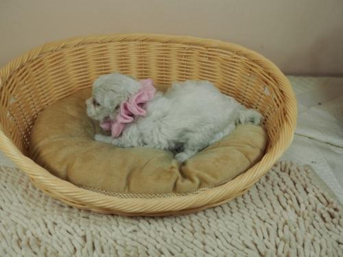 マルチーズの子犬(ID:1255511450)の3枚目の写真/更新日:2020-08-26