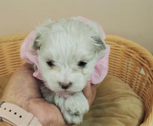 マルチーズの子犬(ID:1255511450)の5枚目の写真/更新日:2020-08-26