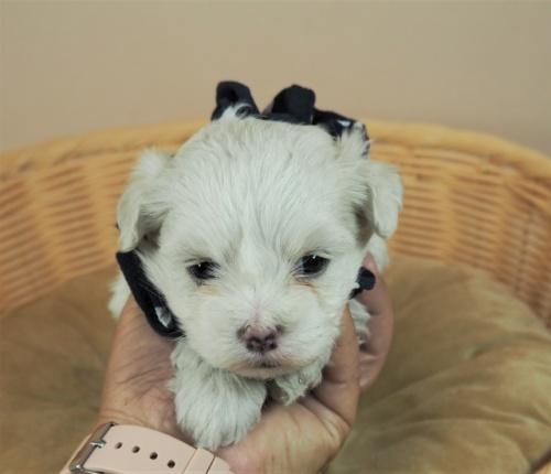 マルチーズの子犬(ID:1255511451)の1枚目の写真/更新日:2020-09-19