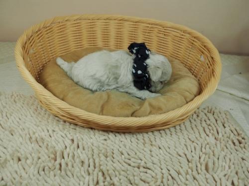 マルチーズの子犬(ID:1255511451)の2枚目の写真/更新日:2020-09-19