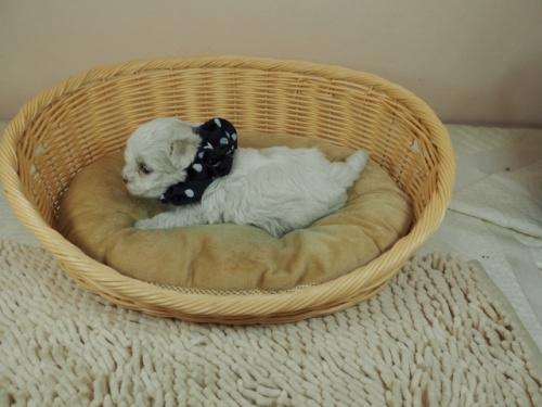 マルチーズの子犬(ID:1255511451)の3枚目の写真/更新日:2020-09-19