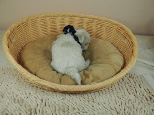 マルチーズの子犬(ID:1255511451)の4枚目の写真/更新日:2020-09-19