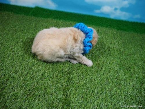 トイプードルの子犬(ID:1255511452)の2枚目の写真/更新日:2020-09-09