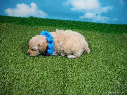 トイプードルの子犬(ID:1255511452)の3枚目の写真/更新日:2020-09-09