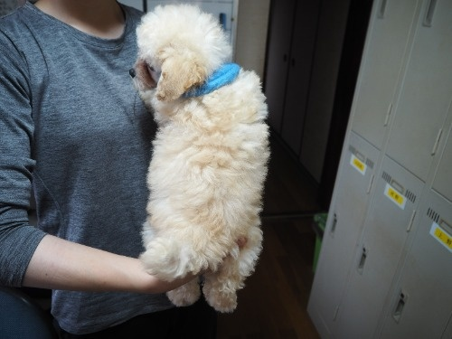 トイプードルの子犬(ID:1255511452)の4枚目の写真/更新日:2020-09-09